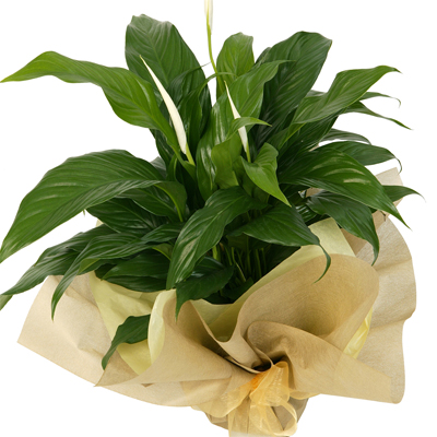 This stunning foliage plant is great for office and thank you gifts