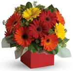 Glorious Gerberas - Moagu Bay