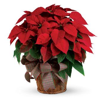 """The red poinsettia has been a Christmas favourite for generations and for a very good reason. It practically screams """"Merry Chri"""